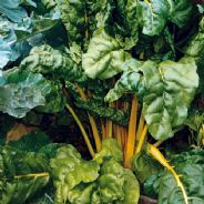 Swiss Chard Bright Yellow 100 seeds  'Beat Leaf'